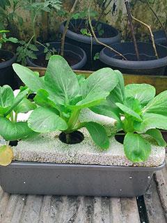 Bertanam Hidroponik di Pekarangan Rumah untuk Para Hobiis