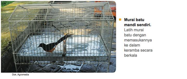 Murai_Batu_mandi