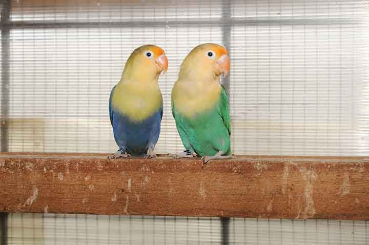 lovebird beauty contest
