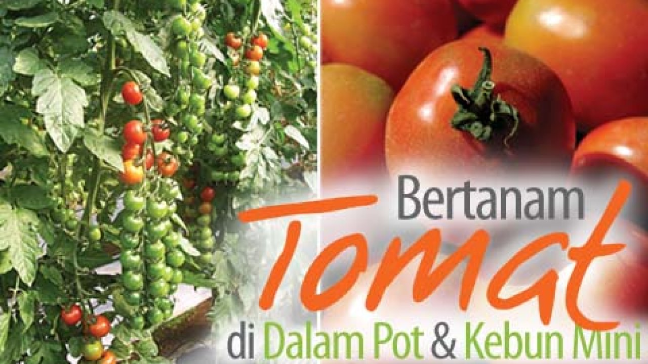 Agromedia Petunjuk Praktis Bertanam Tomat Di Dalam Pot Dan Kebun Agromedia