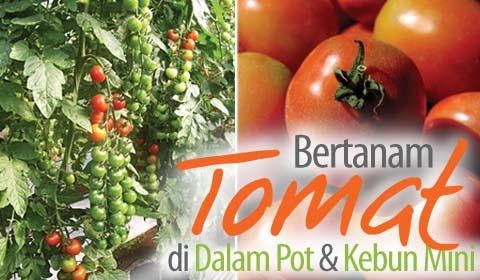 bertanam-tomat-pot-kebun