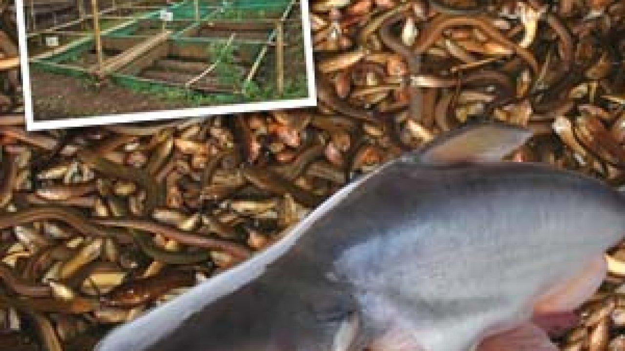 Agromedia Teknis Dan Sumber Pakan Agar Ikan Patin Dan Belut Cepat Besar Agromedia