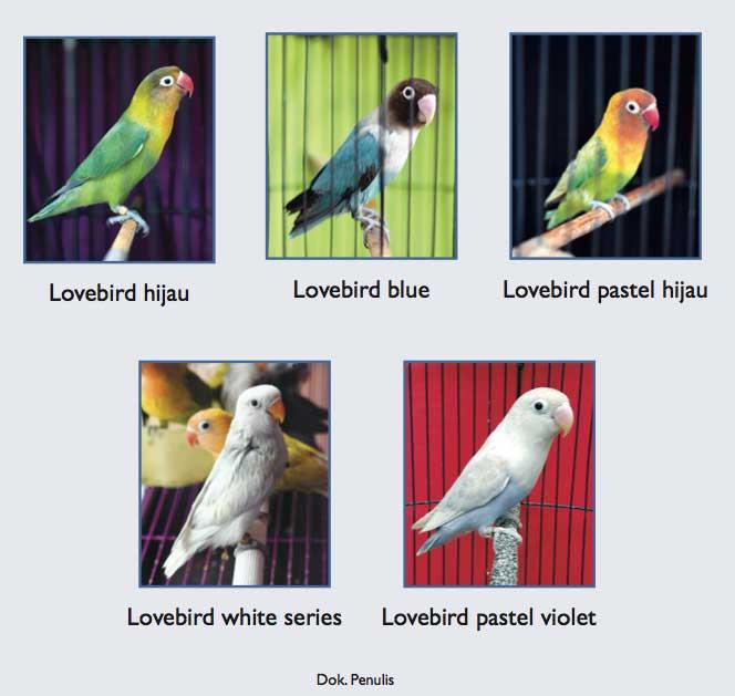 jenis_lovebird_agromedia