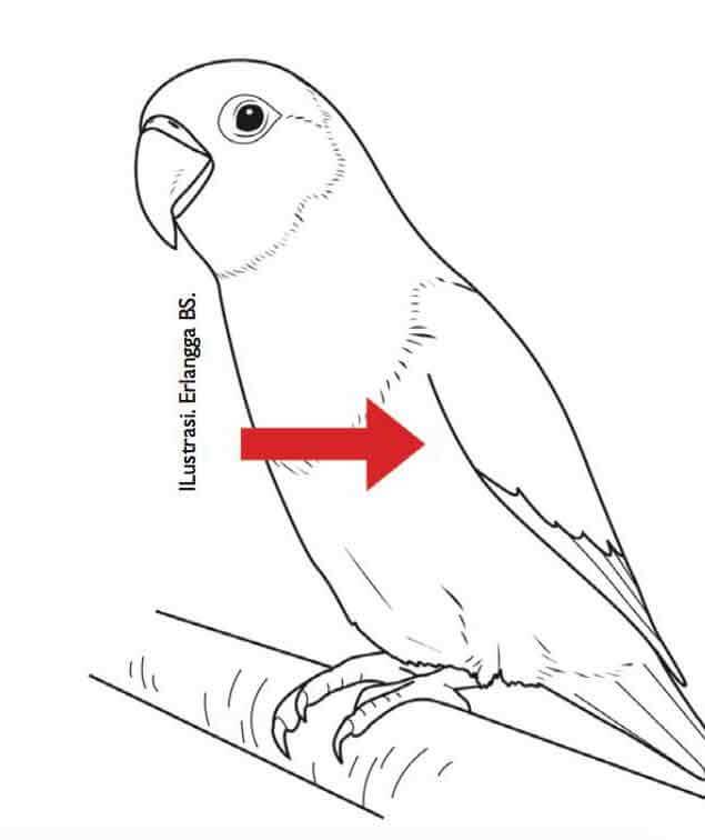 sayap lovebird