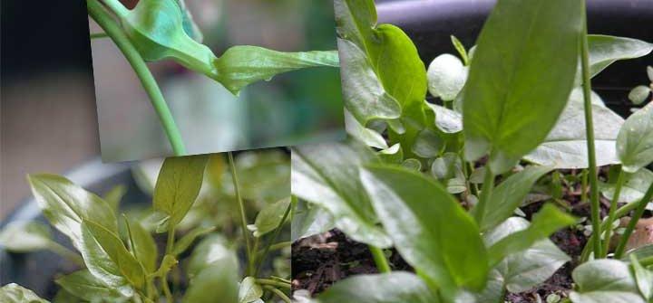 tanaman keladi tikus