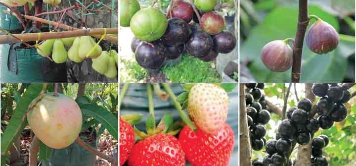 buah-buahan dengan teknik tabulampot