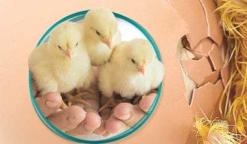 sukses menetaskan telur unggas hingga 90 persen