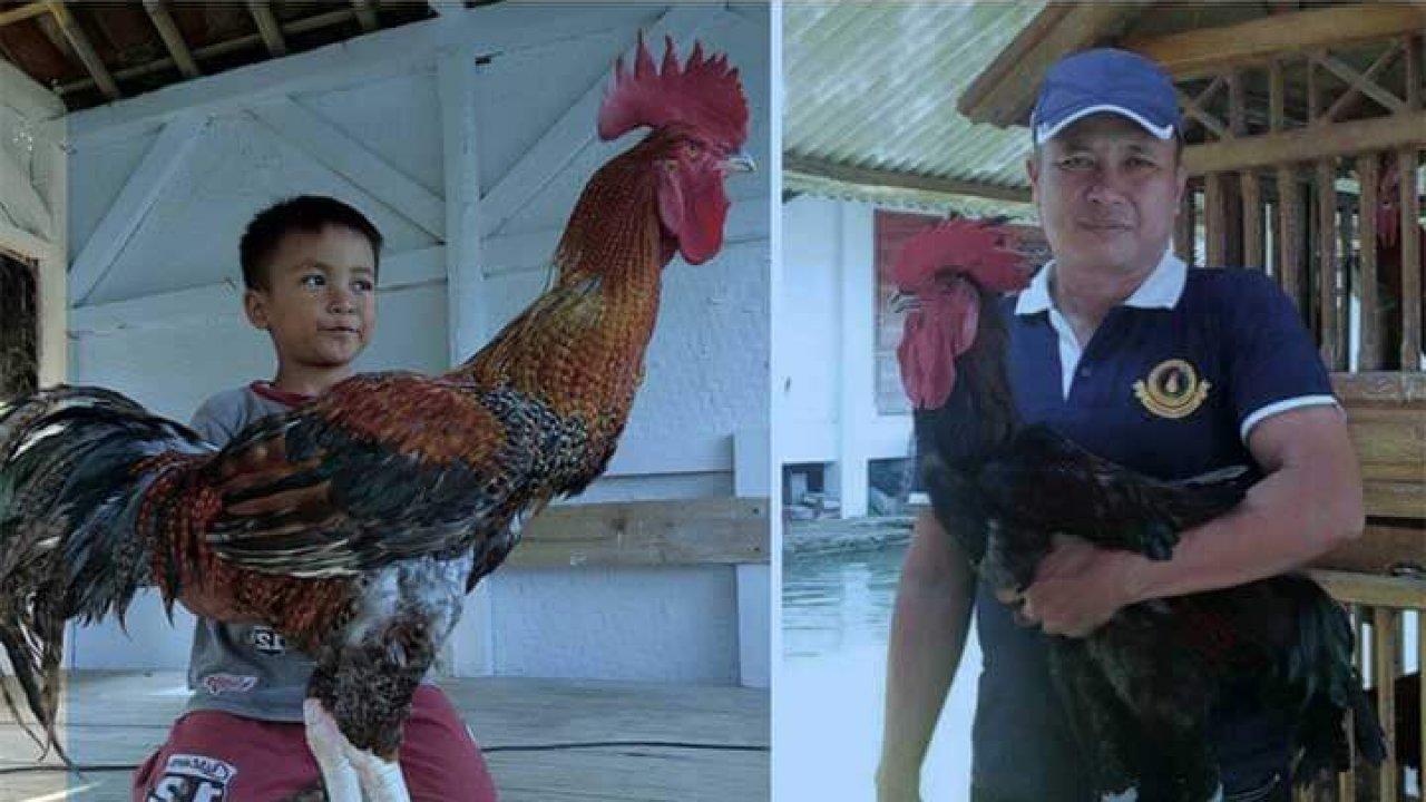 Agromedia Memilih Ayam Pelung Kualitas Kontes Agromedia
