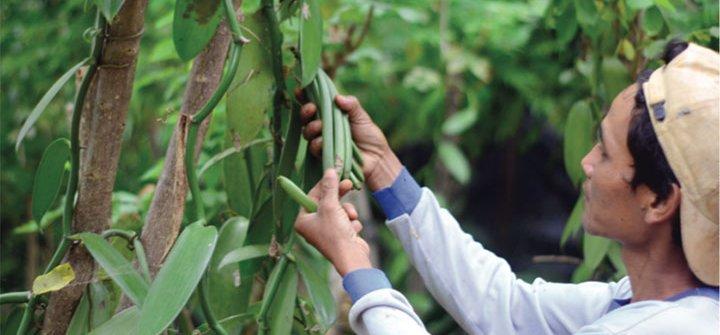 budi daya tanaman vanili