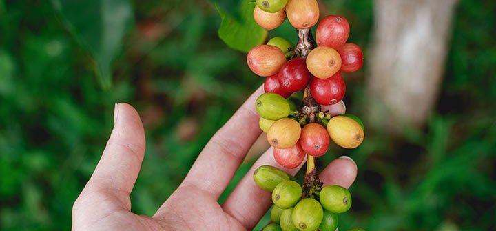 buah kopi