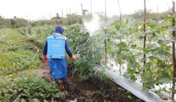 aplikasi pestisida pertanian pada tanaman melon