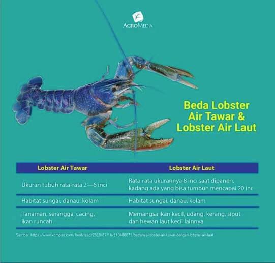 perbedaan lobster air tawar