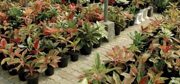 tanaman aglaonema agromedia